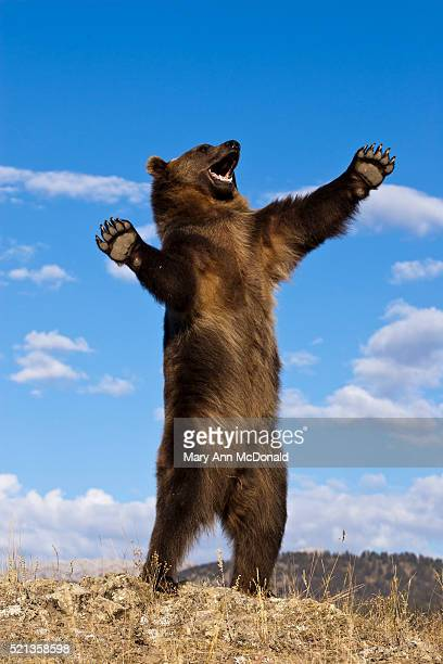 Grizzly Bear, Ursus arctos horribilis, Montana, USA, Captive or controlled situation