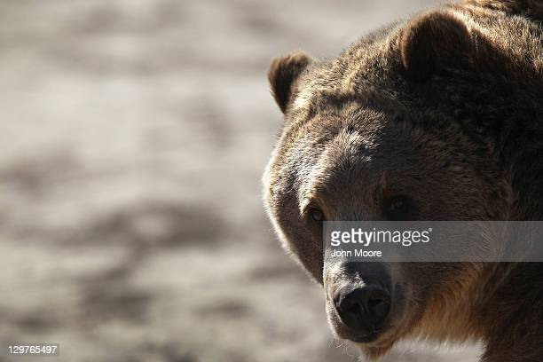 A grizzly bear waits to be fed at The Wild Animal Sanctuary on October 20 2011 in Keenesburg Colorado The nonprofit sanctuary is a 720acre refuge for...