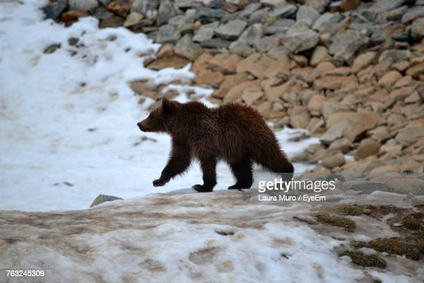 grizzly bear walking on rock during winter - muro stock photos and pictures