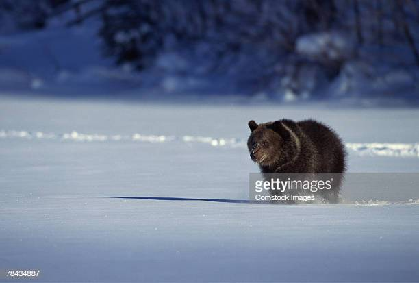 grizzly bear walking through snow , montana - bear tracks stock photos and pictures