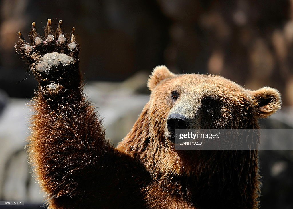A grizzly bear waves at Madrid's zoo on : News Photo