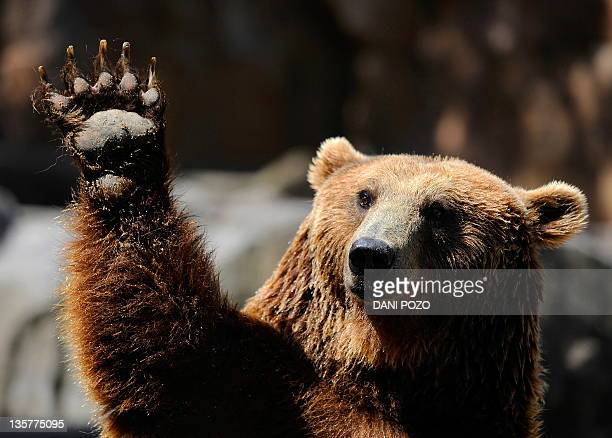 A grizzly bear waves at Madrid's zoo on July 7 2010 on a hot summer day AFP PHOTO/DANI POZO