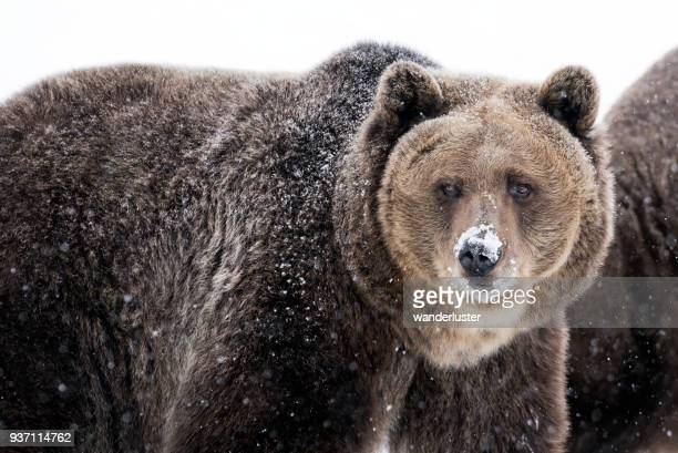 Grizzly bear with snow on nose in winter