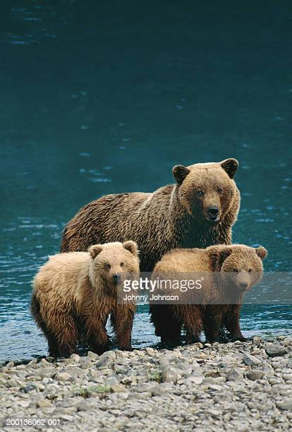grizzly bear (ursus arctos) with two cubs, by water's edge - bear cub stock pictures, royalty-free photos & images