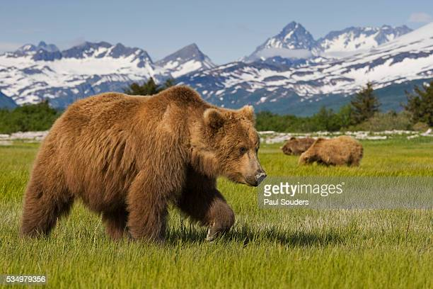 grizzly bears at hallo bay in katmai national park - grizzlies stock pictures, royalty-free photos & images