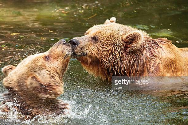 Grizzly Bears couple kiss