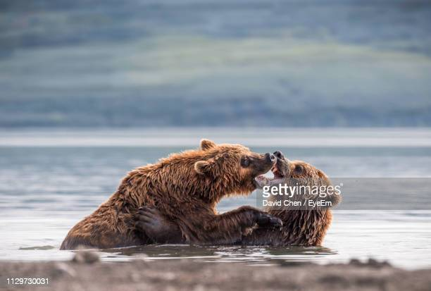 grizzly bears fighting in lake - grizzly bear stock photos and pictures