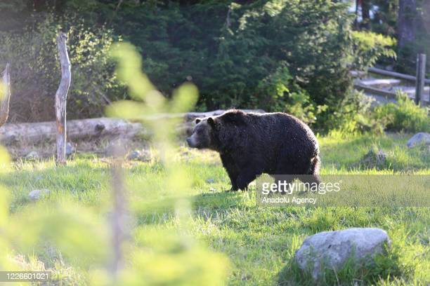 Grizzly bears, Grinder and Coola are seen at their habitat at the Grouse Mountain in Vancouver, British Columbia, Canada on June 12, 2020. Grouse...