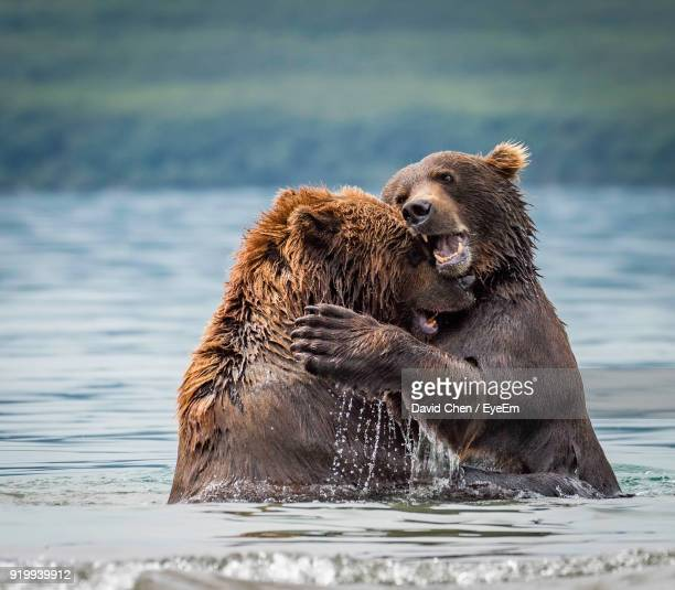 grizzly bears in river - grizzly bear stock photos and pictures