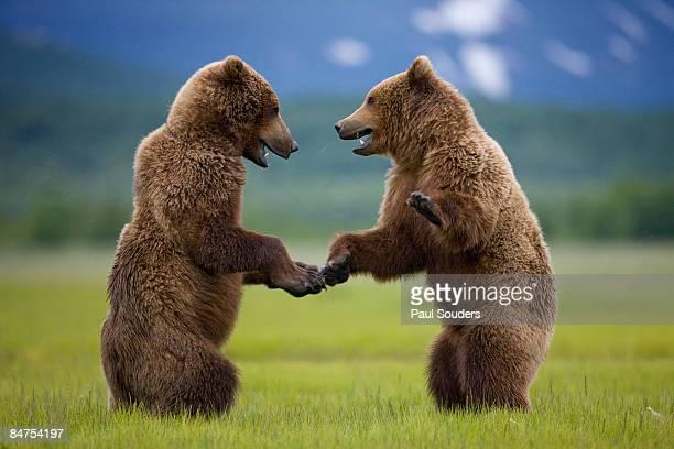 Grizzly Bears, Katmai National Park, Alaska