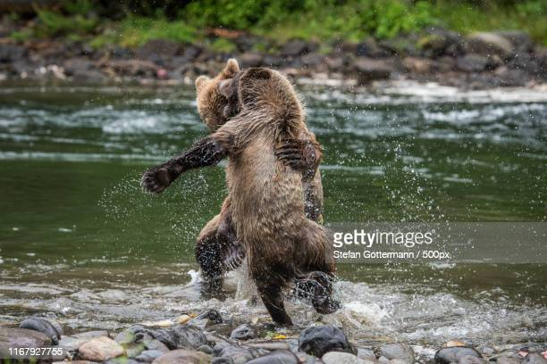grizzly bears look like dancing - dancing bear photos et images de collection