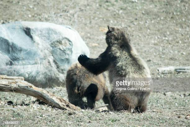 Grizzly Bears Playing At Zoo