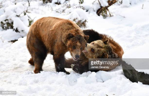 Grizzly bears seen at the Bronx Zoo on March 22 2018 in New York City