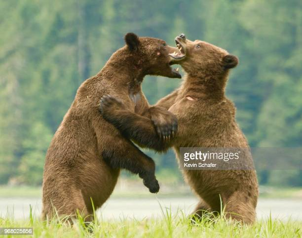 grizzly bears, sparring males, british columbia, canada - grizzly bear stock photos and pictures