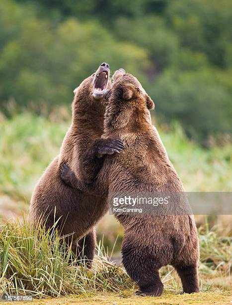 Grizzly Bears Sparring