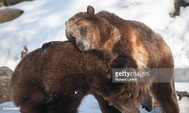Grizzly bears tussle at the Bronx Zoo in New York on Wednesday January 27 2016 Analysts report that the current trend in selling a bear market is...