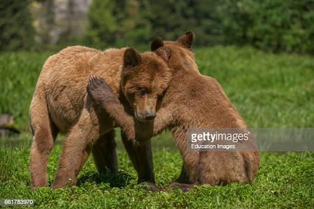 Grizzly Bears Wrestling, Khutzeymateen Grizzly Bear Sanctuary, Canada.