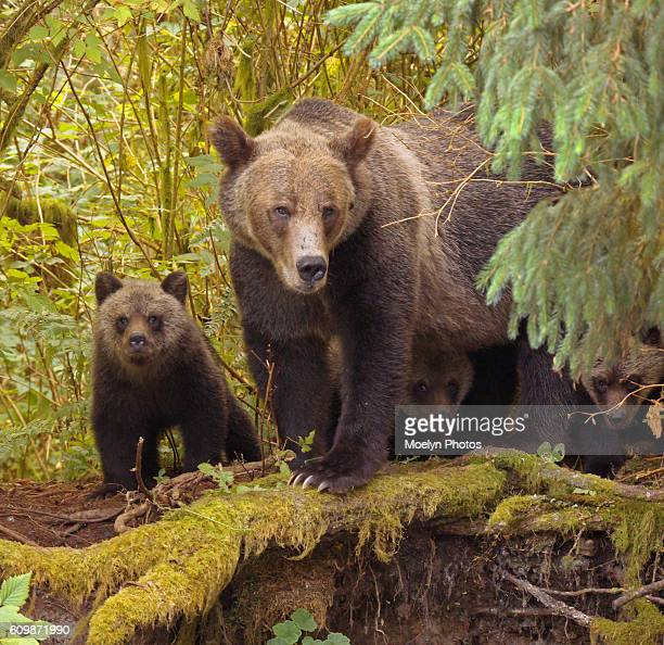 grizzly bears-peek-a-boo-knight inlet bc - bras de mer caractéristiques côtières photos et images de collection