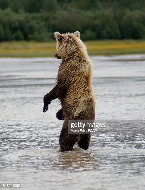 Grizzly Brown bear fishing in water