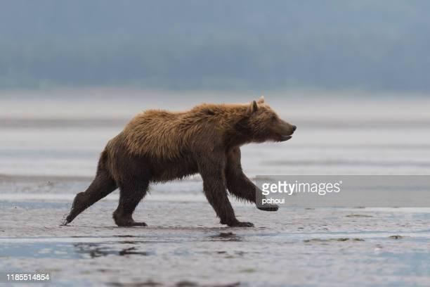 グリズリー、ヒグマ、ウルサスアークトス、ランニング、アラスカ - アラスカ文化 ストックフォトと画像
