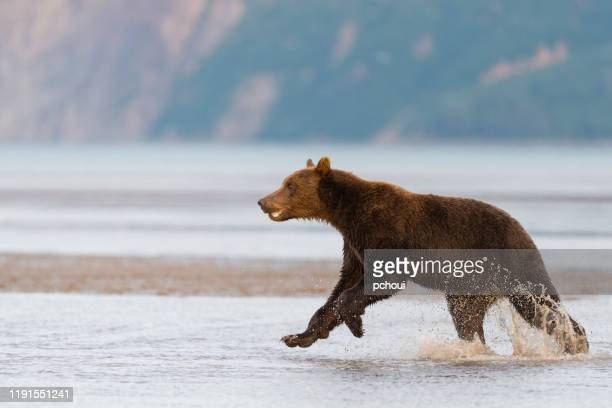 grizzly, brown bear, ursus arctos, running and pursuing an other one, alaska - chasing stock pictures, royalty-free photos & images