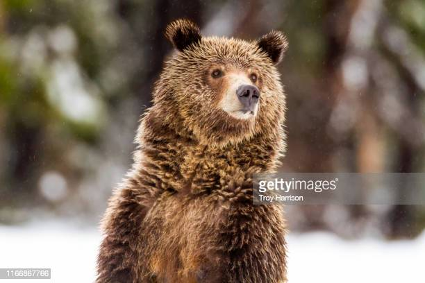 grizzly close up - grizzlies stock pictures, royalty-free photos & images