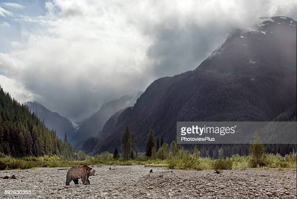 Grizzly crossing the Salmon Riverbed