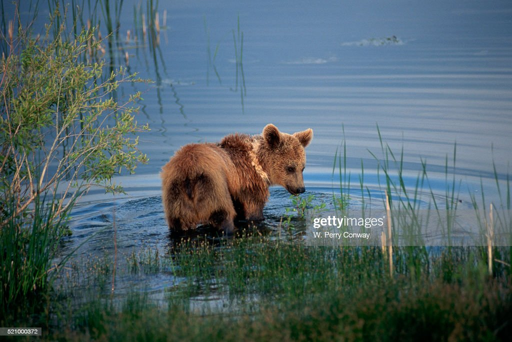Grizzly Cub Wades in a Mountain Lake : Stock Photo