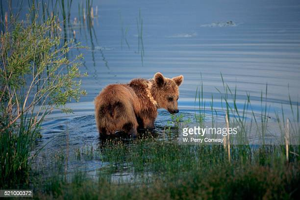 Grizzly Cub Wades in a Mountain Lake