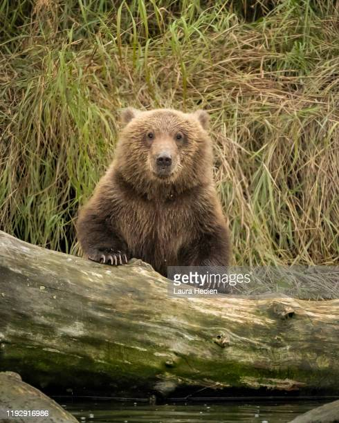 grizzly cubs in alaska at play - bear cub stock pictures, royalty-free photos & images