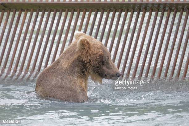 Grizzly Fishing the Weir