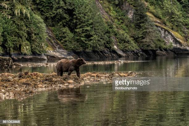 Grizzly on a beach in the Great Bear Rainforest