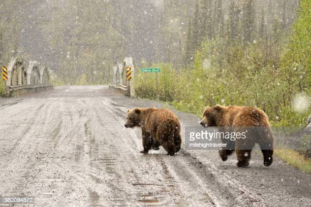 grizzly pair walk snowy dempster highway yukon territory tiaga range ogilvie mountains - orso grizzly foto e immagini stock
