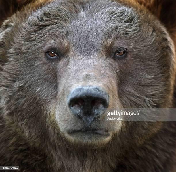 portrait de grizzly - ours brun photos et images de collection
