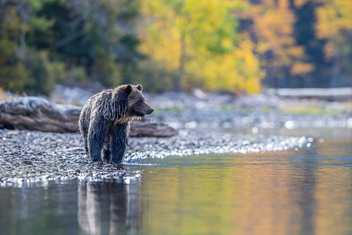 Grizzly reflection and fall colour 522907245