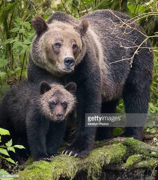 grizzly sow and cub - bras de mer caractéristiques côtières photos et images de collection