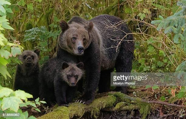 Grizzly Sow & Cubs