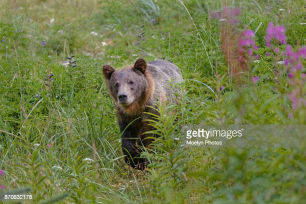 Grizzly Sow in the Bush