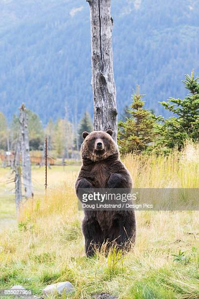 captive: grizzly stands up against a snag to scratch its back, alaska wildlife conservation center, southcentral alaska, summer - snag tree stock pictures, royalty-free photos & images