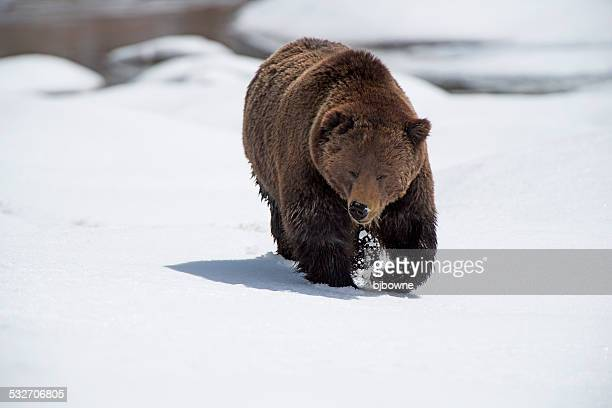 Grizzly Walkabout