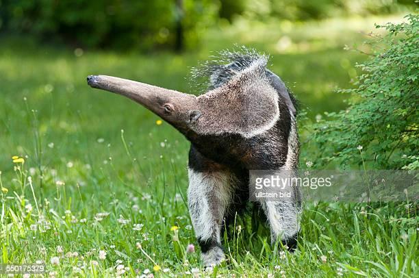 """Großer Ameisenbär im Berliner Zoo. Das am geborene Weibchen wurde von den Tierpflegern """"Evita"""" genannt."""