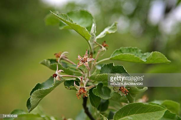 TO GO WITH AFP STORY BY ELISE MENAND Picture taken 15 May 2007 shows apple tree flowers damaged by frost at an orchard of Miroslaw Maliczewski near...