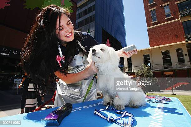 A groomer pampers Miffy the seven months old female Maltese Mix at QV Square during the Festive Best Dressed Dog Competition for The Lost Dogs' Home...