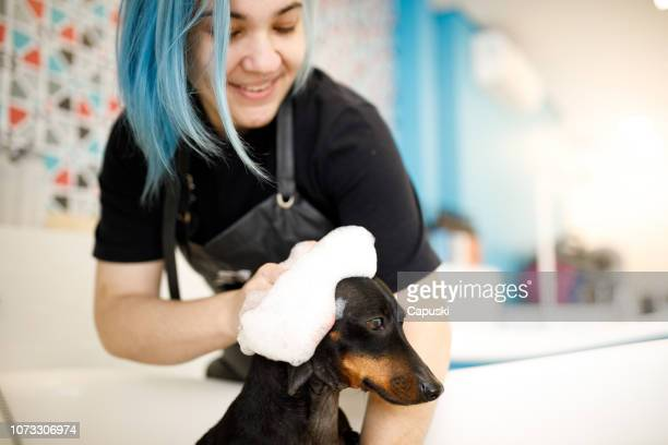 groomer washing small dog in pet salon - groom stock pictures, royalty-free photos & images