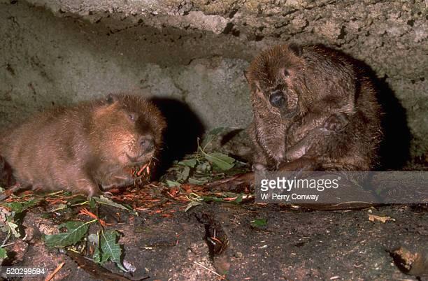 Grooming Beavers