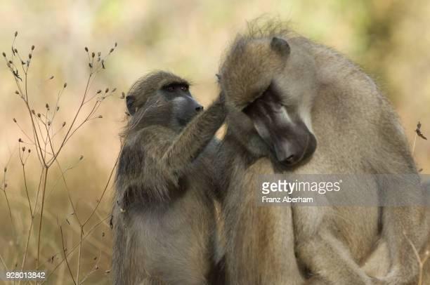 Grooming Chacma baboons, Moremi Game Reserve, Okavango, Botswana