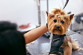 Grooming Dog. Pet Groomer Brushing Dog's Hair With Comb At Salon