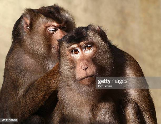 Grooming Pig Tailed Macaques