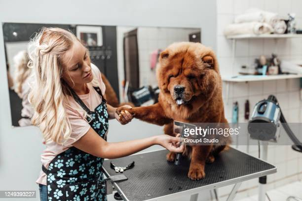 grooming salon - chow dog stock pictures, royalty-free photos & images