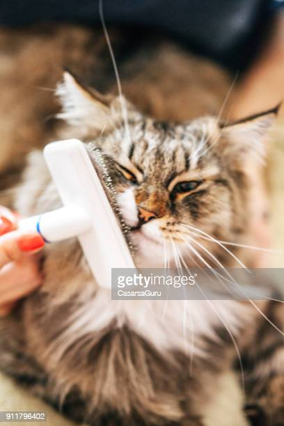 Grooming Siberian Cat's Head with a Grooming Brush